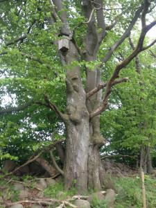 Uggleträd mindre